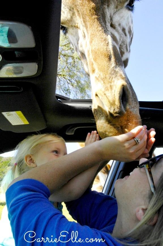 Feeding Giraffe Through Kia Sunroof
