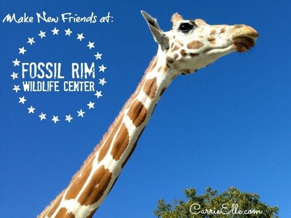 Fossil Rim Giraffe in Sunroof