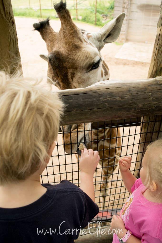 Feeding Giraffes at Zoo