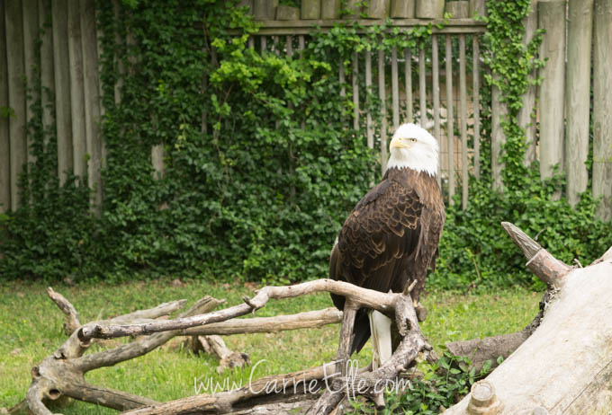 Bald Eagle at Dickerson Park Zoo