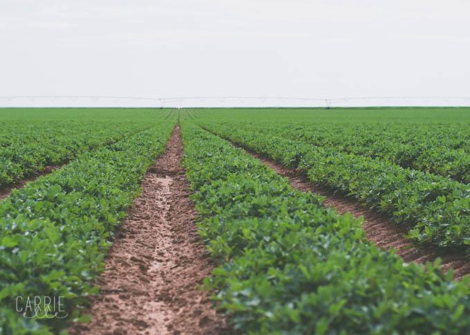 Lubbok Peanut Farm