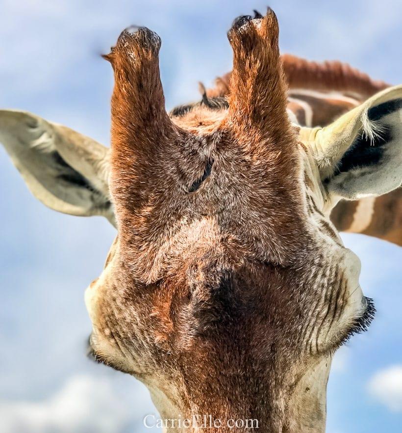 Fossil Rim Giraffe