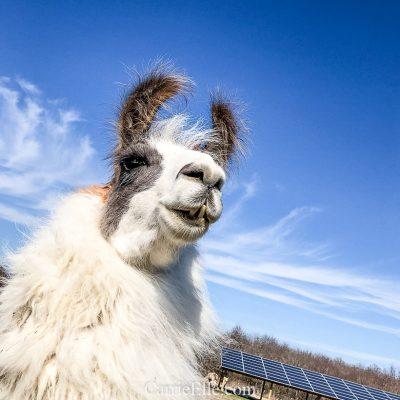 Shangri Llama Experience in Royse City, TX