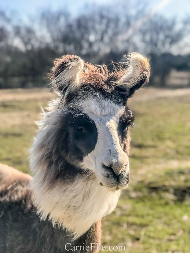Shangri Llama Llama Walks